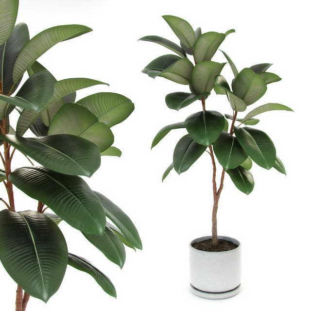Фикус эластика Декора Ficus elastica Decora фото