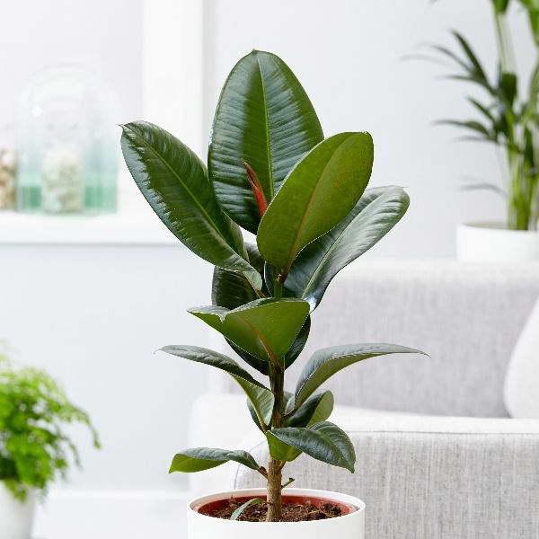 Фикус эластика Робуста Ficus elastica 'Robusta' фото