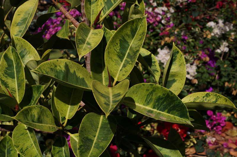 Фикус эластика Шривериана Ficus elastica Schrijveriana фото