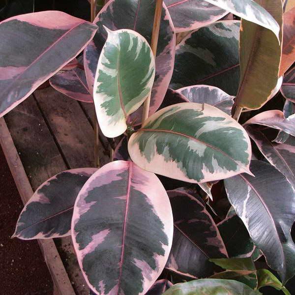 Фикус эластика Сильви Ficus elastica Sylvie фото