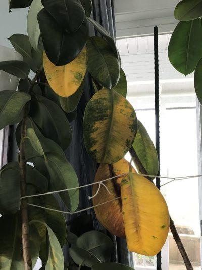 Фикус каучуконосный желтеют листья