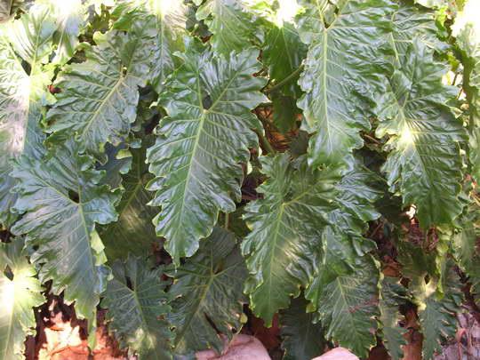 Филодендрон Эванса Philodendron x evansii фото