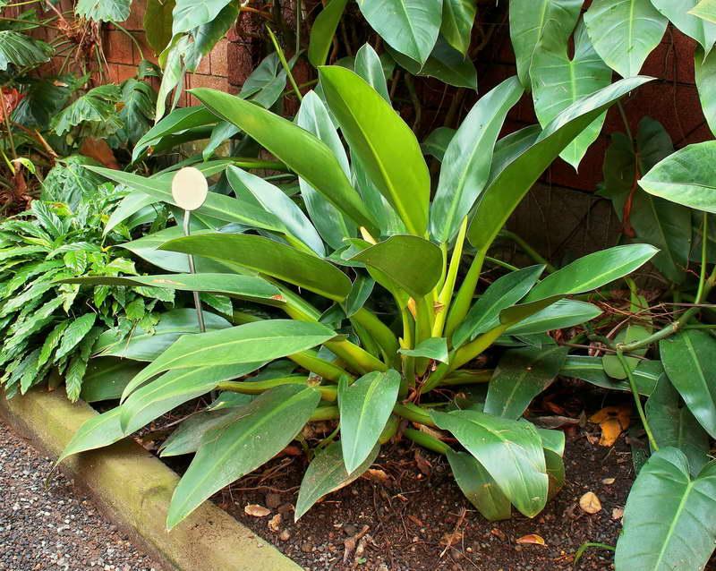 Филодендрон Мартиуса Philodendron martianum или Philodendron cannifolium фото