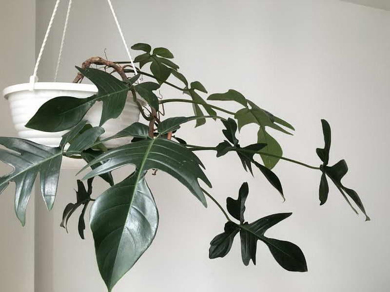 Филодендрон дольчатый Philodendron pedatum или филодендрон стоповидный фото