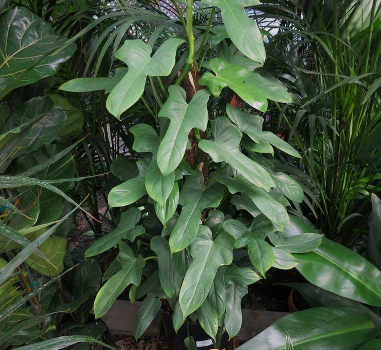 Филодендрон дваждыперистонадрезанный Philodendron bipennifolium фото