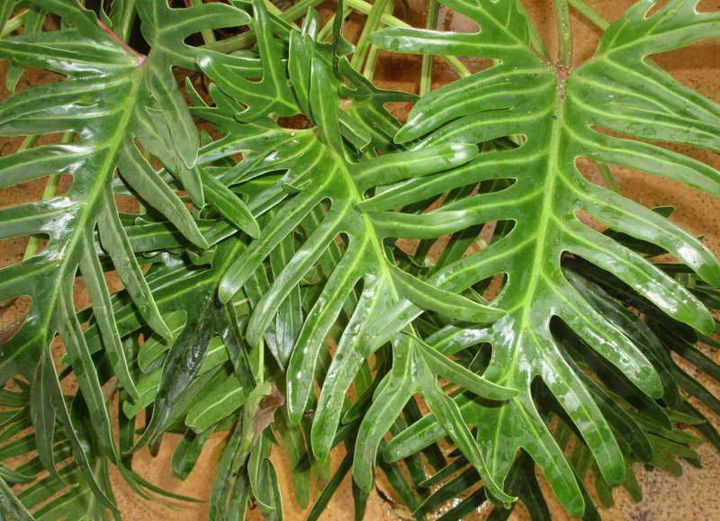 Филодендрон изящный элеганс Philodendron elegans или филодендрон узкорассеченный Philodendron angustisectum