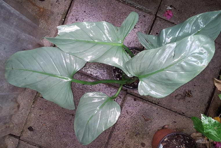 Филодендрон копьевидный Philodendron hastatum фото