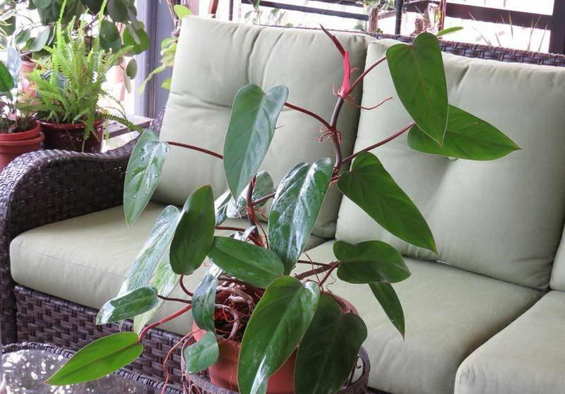 Филодендрон краснеющий Philodendron erubescens фото