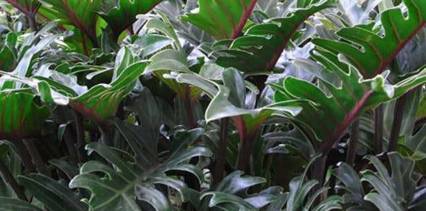 Филодендрон ксанаду Philodendron xanadu фото