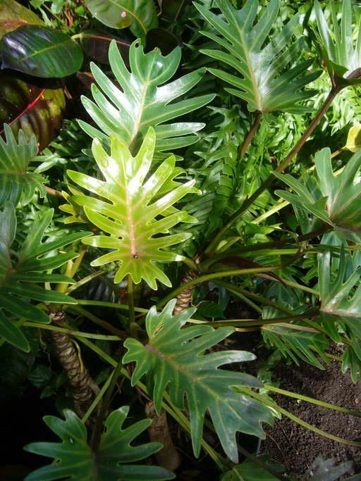 Филодендрон лучистый Philodendron radiatum фото