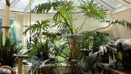 Филодендрон селло мексиканский змей уход в домашних условиях