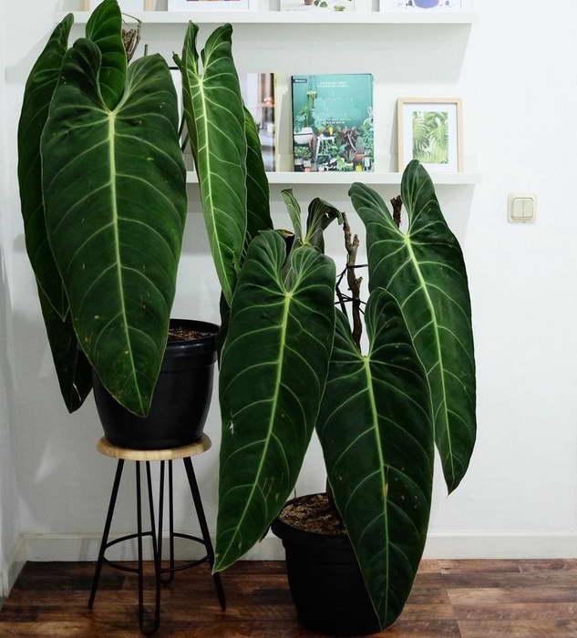 Филодендрон золотисто черный или Андре Philodendron melanochrysum фото