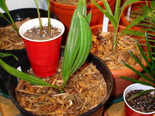 Финиковая пальма из косточки в домашних условиях фото