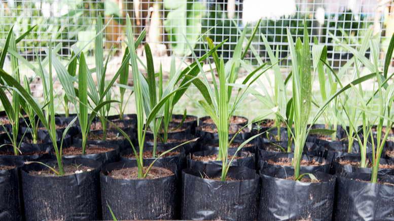 Финиковая пальма из косточки в домашних условиях как выращивать