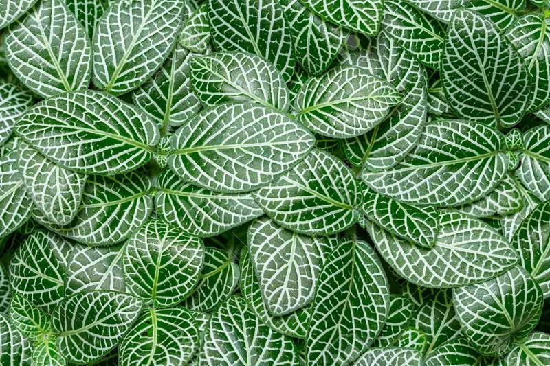 Фиттония Вершаффельта или беложильчатая fittonia verschaffeltii=Fittonia albivenis фото