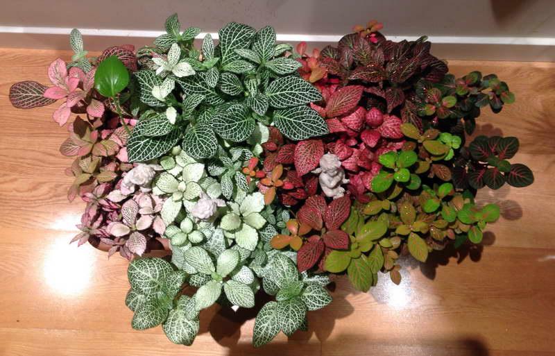 Фиттония микс уход в домашних условиях фото цветов