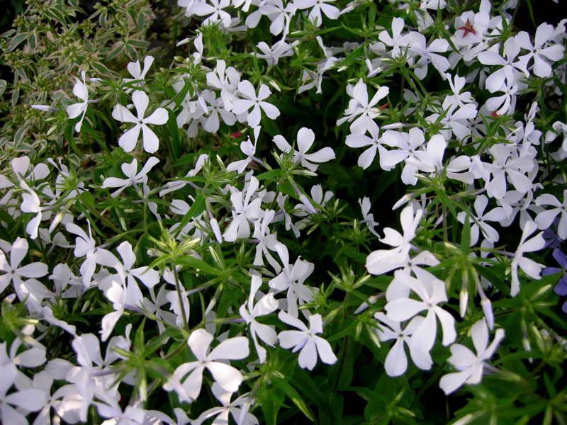 Флокс канадский или растопыренный Phlox divaricata на фото сорт May Breeze