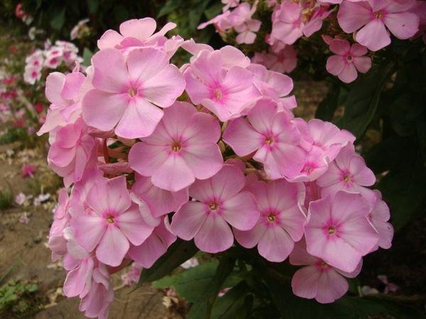 Флокс метельчатый или паникулята Phlox paniculata посадка и уход Сорт Цвет яблони фото