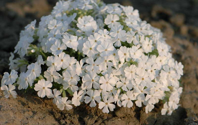 Флокс шиловидный White Delight Уайт Делайт фото цветов