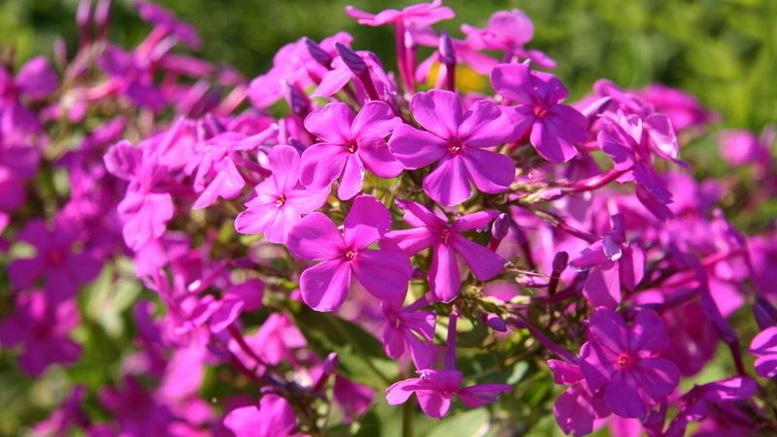 Флокс друммонда: выращивание и уход в открытом грунте. РАСТЮНЬКА 94