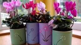 Фото цикламены в домашних условиях Выращивание и уход