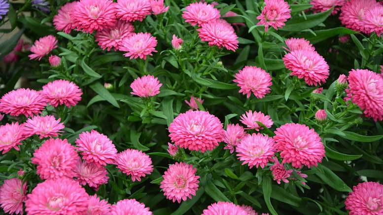 Фото цветов розового цвета с названиями и описанием