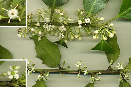 Фото женских и мужских цветков падуба