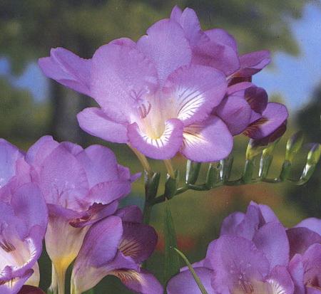 Фрезия Роял Блю Freesia hybrida Royale Blue