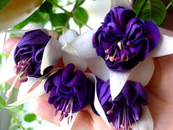 Фуксия pinto de blue фиолетовая с белым фото цветения