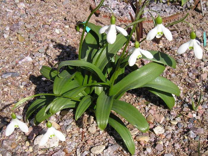 Галантус плосколистный или широколистный Galanthus platyphyllus фото