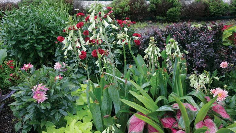 Гальтония зеленоцветковая galtonia viridiflora в ландшафтном дизайне фото миксбордера в саду