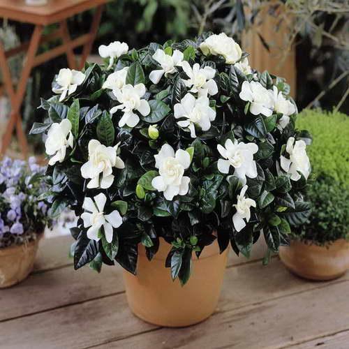 Гардения жасминовая комнатная уход в домашних условиях фото цветения