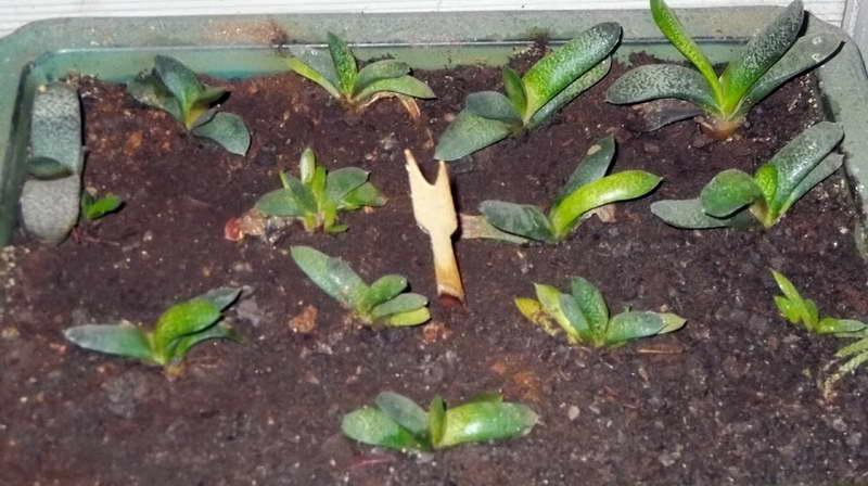 Гастерия из семян Фото рассады