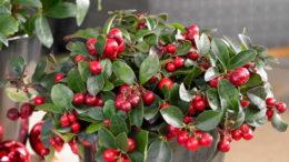 Гаультерия Пернеттия с ярко малиновыми ягодами фото