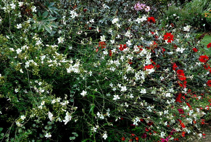 Гаура белая фото миксбордера в саду