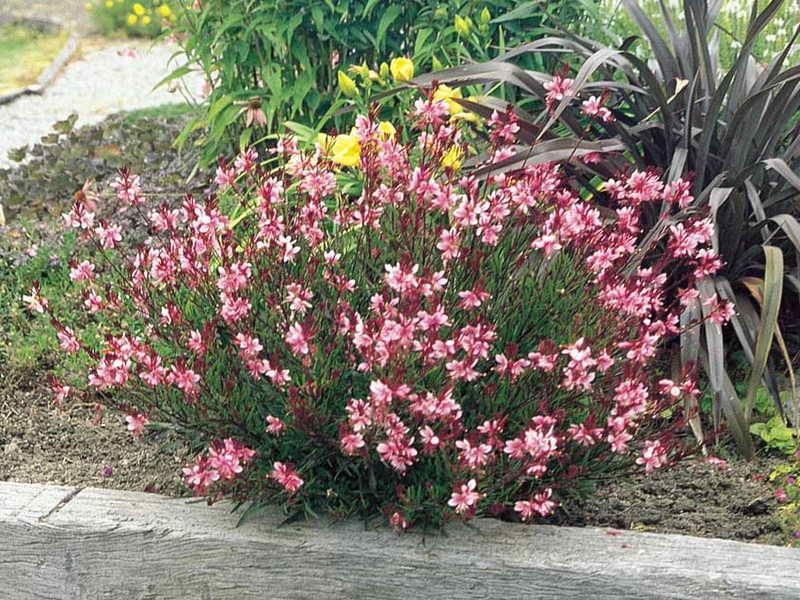 Гаура травянистые растения для открытого грунта Gaura Passionate Pink фото