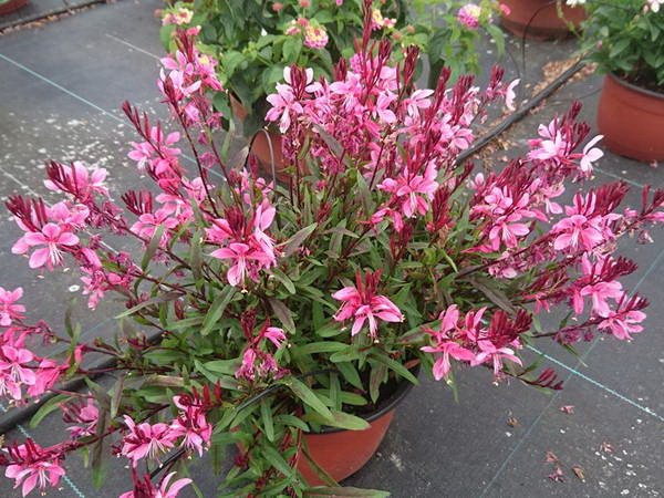 Гаура цветок фото сорт Gaura Flamingo Pink