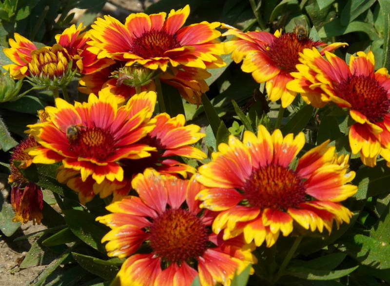 Гайлардия Аризона Сан Gaillardia x grandiflora 'Arizona Sun' фото