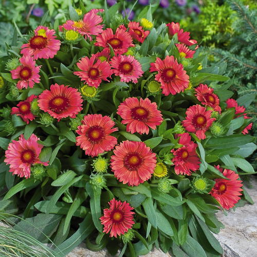 Гайлардия аризона ред шейдс Arizona Red Shades gaillardia фото в саду
