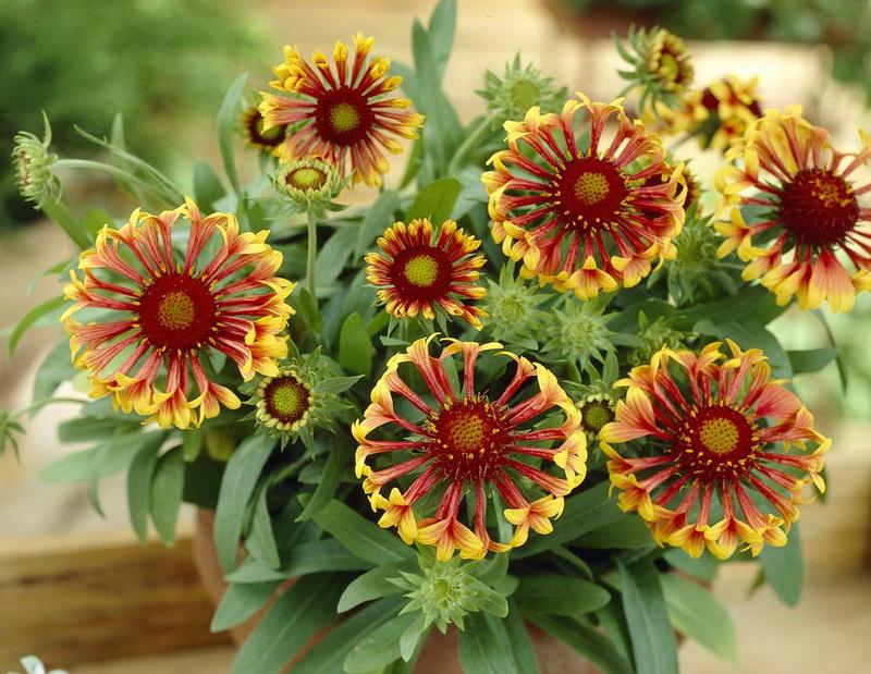 Гайлардия карликовая крупноцветковая сорт фанфары Gaillardia Fanfare