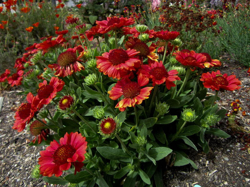 Гайлардия крупноцветковая Gaillardia aristata 'Gallo Red' фото в саду