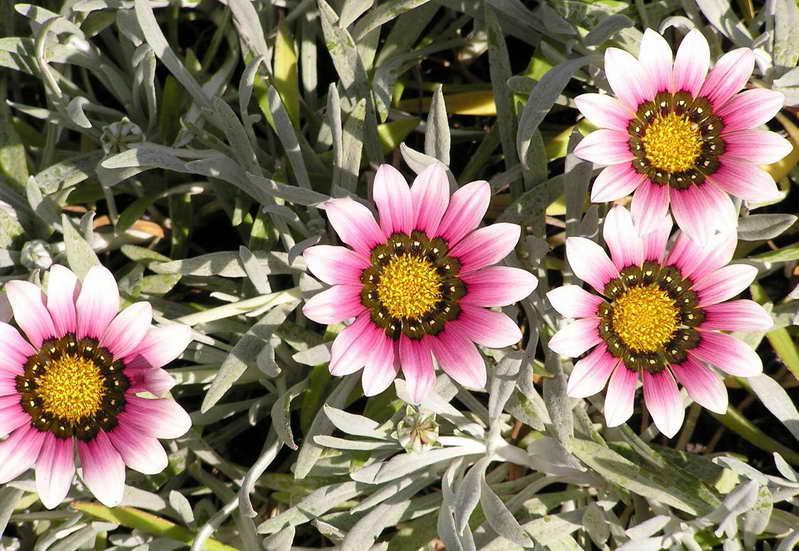 Газания длиннострелковая Gazania Longiscapa Purple-Pink-Orange фото