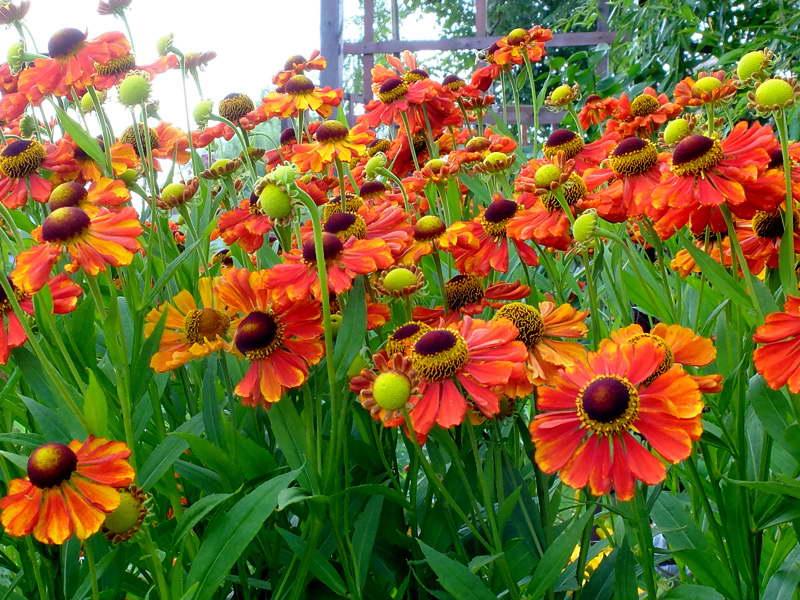 Гелениум Моерхейм Бьюти гелениум осенний сорта садовый цветок гелениум фото в саду