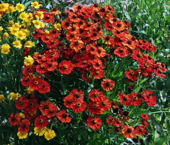 Гелениум гибридный Рубинцверг Rubinzwerg красный гелениум многолетний фото цветов посадка и уход