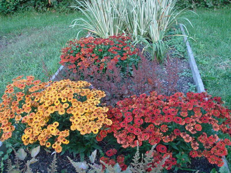 Гелениум фото цветов рассада когда сажать Гелениум в саду фото
