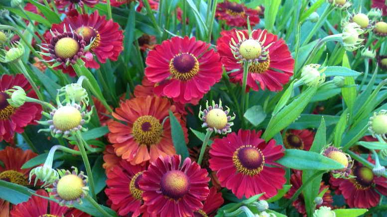 Гелениум многолетний посадка и уход фото цветов