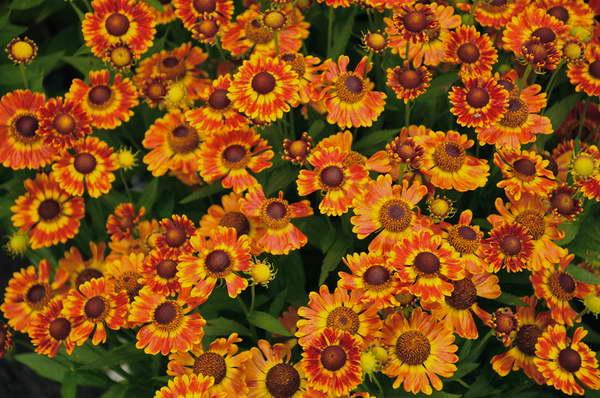Гелениум осенний Helenium autumnale посадка и уход в открытом грунте фото