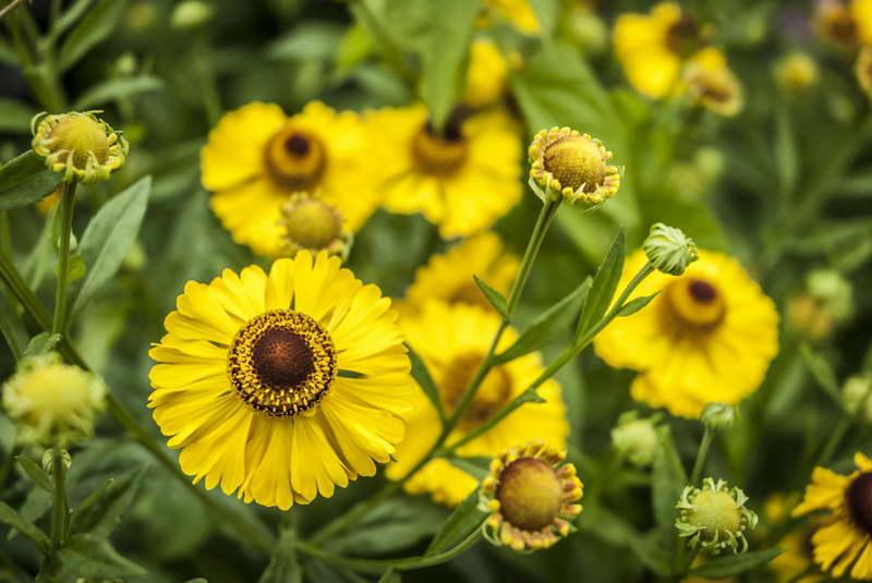 Гелениум санрайз Гелениум выращивание и уход фото цветов в саду