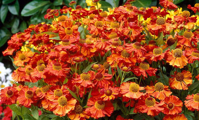 Гелениум яркая красавица Садовый цветок гелениум Цветы многолетники гелениум