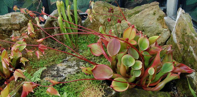Гелиамфора поникающая Helianphora nutans фото
